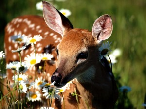 Petal_Pusher,_White-Tailed_Deer