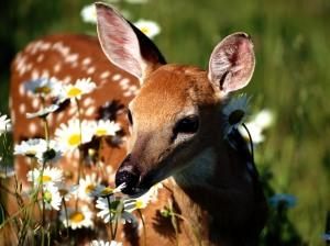 Petal_Pusher,_White-Tailed_Deer