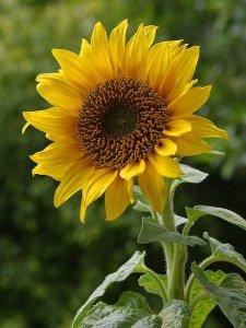 single sun flower