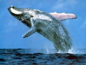 whales_and_dolphins_csg011_humpback_whale