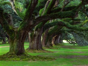 oaktreepicture