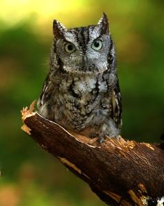 screech owl cvanalstine