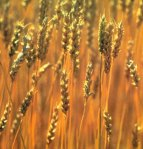 com_wheat
