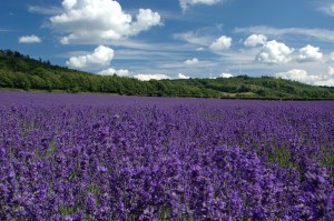 lavendar fields with clouds