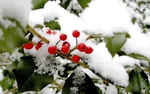 Holly Tree Winter