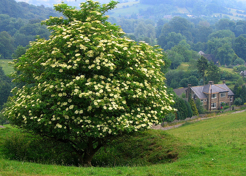 Floriography - Tree & Flower Symbolism  Elder-tree-black