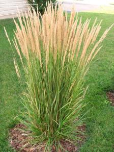 Reed plant