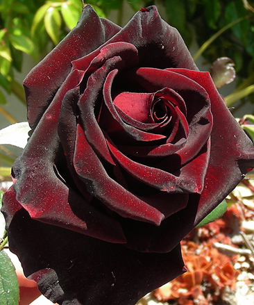 black magic rose blog | Spiritblogger's Blog