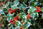 Variegated-Holly-Bush-821312